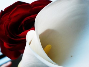 Rose and Lily (image by CresySusy, Flickr, CC)