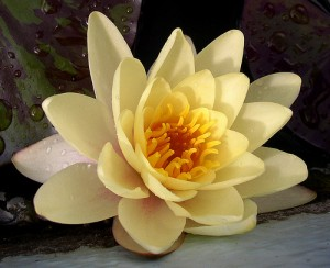 Water Lily (image by Powi, Flickr, CC)